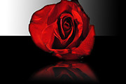 Cindy Boyd - Red Rose Reflection