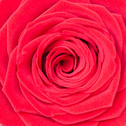 Fragrance Prints - Red Rose Print by Semmick Photo
