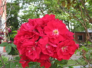 Galore Originals - Red Roses Galore  by Elisabeth Ann