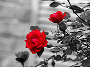 Red Roses Print by Jai Johnson