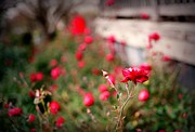 Linda Unger - Red Roses on Film