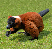 Wild Animals Mixed Media Posters - Red Ruffed Lemur Poster by Ellen Henneke