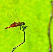 Saddlebag Posters - Red Saddlebag Dragonfly Poster by Chandra Sherin
