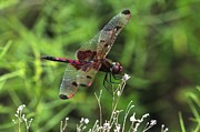 Insects Metal Prints - Red Saddlebags Metal Print by J Scott Davidson