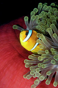 Red Sea Anemonefish Posters - Red Sea Anemonefish in Host Anemone Poster by Dray van Beeck