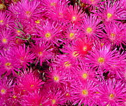 Pink Flower Prints Prints - Red Shift Lampranthus Print by Denise Mazzocco
