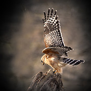 Nava Jo Thompson Prints - Red-shouldered Hawk Action Print by Nava Jo Thompson