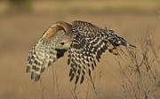 Amber Bobbitt - Red-Shouldered Hawk