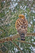 Red-shouldered Hawk Prints - Red Shouldered Hawk Print by Bill  Wakeley