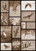 Red-shouldered Hawk Posters - Red-Shouldered Hawk Collage Poster by Carol Groenen