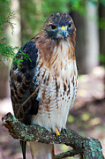Red Tail Hawk Photo Photos - Red Shouldered Hawk by Donna Proctor