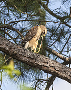 Ralph Brannan - Red Shouldered Hawk...