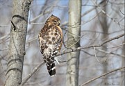 Shoulder Pyrography Prints - Red Shouldered Hawk in Habitat Print by Daniel Behm