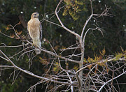 John Rowe - Red Shouldered Hawk
