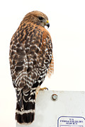 Buteo Lineatus Framed Prints - Red-shouldered Hawk Framed Print by Kathleen Bishop