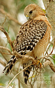 Red-shouldered Hawk Photos - Red Shouldered Hawk by Millard H. Sharp