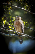 Shoulder Prints - Red Shouldered Hawk Print by Rich Franco