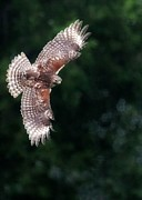 Red-shouldered Hawk Posters - Red Shouldered Hawk Poster by Sabrina L Ryan