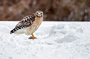 Red Bird In Snow Posters - Red Shouldered Hawk With Prey Poster by Bill  Wakeley