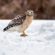 Red Bird In Snow Posters - Red Shouldered Hawk With Prey Square Poster by Bill  Wakeley