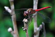 Dragonfly Framed Prints - Red Skimmer 2 Framed Print by J Scott Davidson