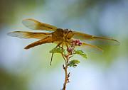 Saija  Lehtonen - Red Skimmer Dragonfly