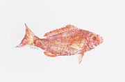 Gyotaku Posters - Red Snapper Against White Background Poster by Nancy Gorr