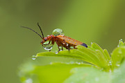 Netting Posters - Red soldier beetle Poster by Mircea Costina Photography