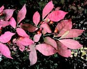 Patricia Sundik - Red Spicebush And Berries