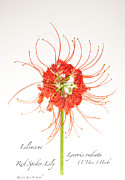 Roberta Jean Smith - Red Spider-Lily