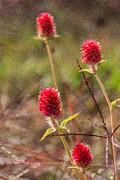 Red Spiky Flowers Print by Karen Stephenson
