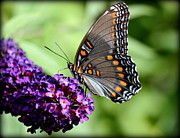 Rosanne Jordan - Red Spotted Purple Butterfly Beauty