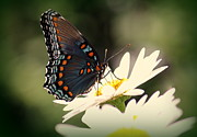 Rosanne Jordan - Red Spotted Purple Butterfly Contrast
