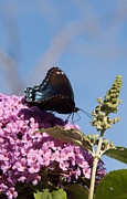 Jeff Folger - Red-spotted Purple...