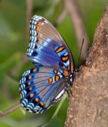 Sandy Keeton Posters - Red Spotted Purple Butterfly Poster by Sandy Keeton