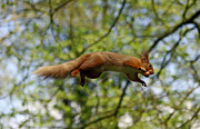 Graeme Robinson - Red squirel to infinity