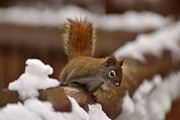Joshua Mccullough Photography Prints - Red Squirrel Print by Joshua McCullough