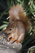 Steev Stamford Framed Prints - Red squirrel Framed Print by Steev Stamford