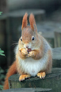 Red Squirrel With A Nut Print by Martyn Bennett