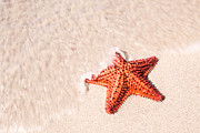 Martinique Posters - Red starfish on tropical beach in the Caribbean Poster by Matteo Colombo