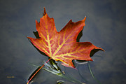 Red Leaf Posters - Red Sugar Maple Leaf Poster by Christina Rollo