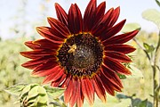 Farmstand Photo Metal Prints - Red Sunflower and Bee Metal Print by Kerri Mortenson