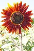 Red Sunflower Glow Print by Kerri Mortenson
