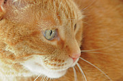 Tabby Cat Photos - Red Tabby Cat by Renee Forth Fukumoto