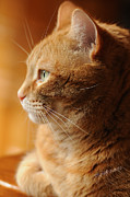 Cat Photography Prints - Red Tabby   Print by Renee Forth Fukumoto