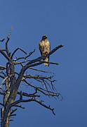 Red-tail Hawk   #0622 Print by J L Woody Wooden