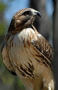 On Paper Photos - Red-Tail Hawk 263  by Joyce StJames