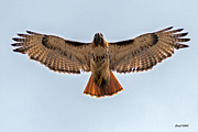 Stephen  Johnson - Red Tail Hawk at...