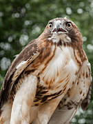 Bird Of Prey Prints - Red Tail Hawk Print by Bill  Wakeley