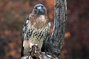 Red Tail Hawk Art - Red tail hawk by Cheryl Cencich
